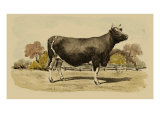 Antique Cow VI