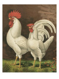 Cassell&#39;s Roosters VI