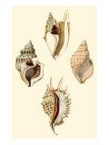 Strombus Shells