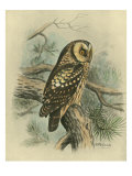 Tengmalm&#39;s Owl