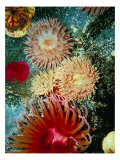 Graphic Sea Anemone III