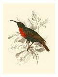 Jardine Hummingbird III