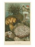 Large Sea Anemones