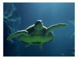 Aegean Sea Turtles II
