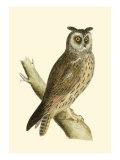 Morris Long Eared Owl