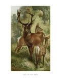 Stag or Red Deer