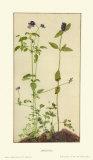 Three Medicinal Herbs: Pansy  Brunella  Anagallis