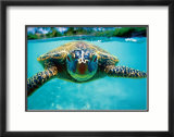 Honu  Turtle