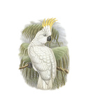 Cacatua Ophthalmica I
