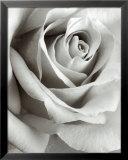 Rose Reproduction encadrée par Steven N. Meyers