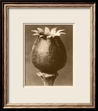 Sepia Botany Study I