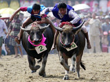 Jockeys Race in the 133 Rd Annual Traditional Water Buffalo Race in Chonburi Province  Thailand