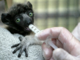 Veterinarian Feeds a Baby Crowned Sifaka Lemur Named Tilavo at the Vincennes Zoo