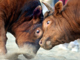 Two South Korean Bulls Lock Horns in the 2005 Bullfighting Festival in Seoul  South Korea