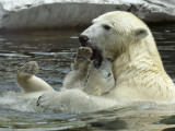 Polar Bear Cub Plays with His Mother in their Pool During Hot Weather at the Zoo in Stuttgart