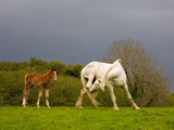 Itchy Mare and Foal  Co Derry  Ireland