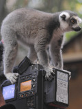 Ring Tailed Lemur Sitting on a TV Camera During a Press Call in Hagenbeck&#39;s Zoo in Hamburg