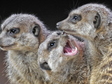 Meerkats Seated by a Heating Lamp in a Zoo in Freiburg   Southern Germany