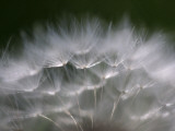 Top of a Dandelion Seed Head is Seen in the Morning Light in Marysville  Pennsylvania