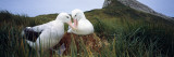 Wandering Albatross Mated Pair Bonding at the Nest  Bird Island  South Georgia Island
