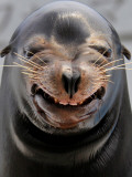 Male Sea Lion Performs &#39;smiling&#39; During a Show at Kamogawa Sea Wolrd in Kamogawa  Japan