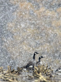 Canada Geese Weather an Autumn Snow Storm in a Corn Field in New Salem  New York