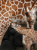 Young Female Giraffe is Nursed by Her Mother at Kanazawa Zoological Park in Yokohama