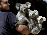 Head Keeper at Sydney&#39;s Koala Park Holds &#39;Kamara&#39; and Her Two One Year-Old Babies