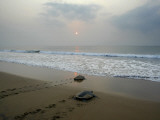 Olive Ridley Turtles Return to the Bay of Bengal Sea after Laying Eggs on Gokhurkuda Beach  India
