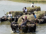 Bangladeshi Farmers Carry Harvested Rice Crops Through a Canal on Buffalo Carts