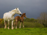 Mare and Foal  Co Derry  Ireland