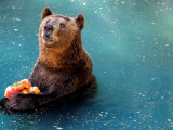 Bear Cools Off from the Summer Heat with a Frozen Watermelon in Rio De Janeiro's City Zoo