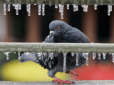Pigeon Slides Along the Ice in Downtown San Antonio