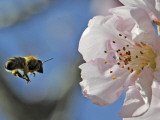 Bee Flies Towards the Blossom of an Almond Tree in a Park in Freiburg  Southern Germany