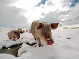 Pigs Make their Way Through a Snowy Landscape Near the Alpine Village of Schruns in Austria