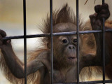 Young Orangutan Hold on to the Bars of a Cage at the Duisburg Zoo