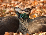 Two Peacocks Peck at Each Other Amidst Autumn Leaves in the Lazienki Park in Warsaw  Poland