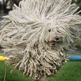 Hungarian Puli Sheep Dog  Fee  Jumps over a Hurdle During a Preview for a Pedigree Dog Show