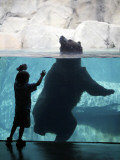 Andrew Zimmerman Watches a Grizzly Bear Swim in a Pool in the Exhibit at the Brookfield Zoo