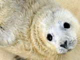 Nahia  a Five-Day-Old Grey Baby Seal  is Seen at the Biarritz Sea Museum