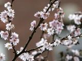 Tree Flowers on Beacon Hill in Boston