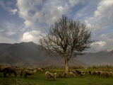 Sheep Graze on the Outskirts of Srinagar  India