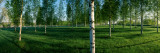 Birch Trees in a Forest  Imatra  South Karelia  Southern Finland  Finland