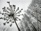 Dried Plants and Trees Covered with Hoarfrost are Seen in a Forest Near Village Veragi  Belarus