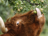 One of a Herd of Scottish Highland Cattle Picks Pears from a Tree in Gockhausen  Switzerland