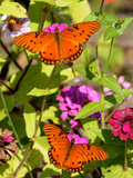 Pair of Passion Butterflies Perch on Flowers at a Houston Park
