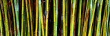 Bamboo Trees in Botanical Garden  Kanapaha Botanical Gardens  Gainesville  Alachua County  Florida