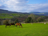 Horses and Sheep in the Barrow Valley  Near St Mullins  County Carlow  Ireland