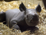 New Born Rhinoceros Zawadi Lifts its Head at the Zoo in Berlin