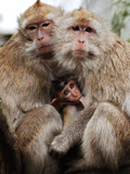 Crab-Eating Macaques Huddle Together to Fend Off Cold Front Lingering over Taiwan as a Young Feeds